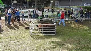 指示に従って動く牧羊犬 2017年10月1日 Zürich(スイス チューリッヒ)...