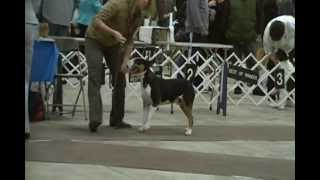 Edison, Nj Bull Terrier Specialty Part 1