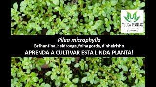 PILEA MICROPHYLLA- Brilhantina, beldroega ou folha gorda