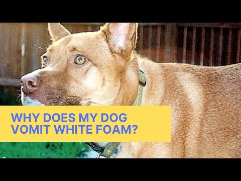 Why Does My Dog ​​Vomit White Foam?