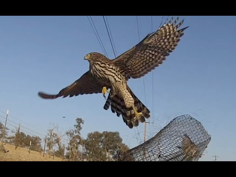 Cooper's Hawk Caught 11/09/2014