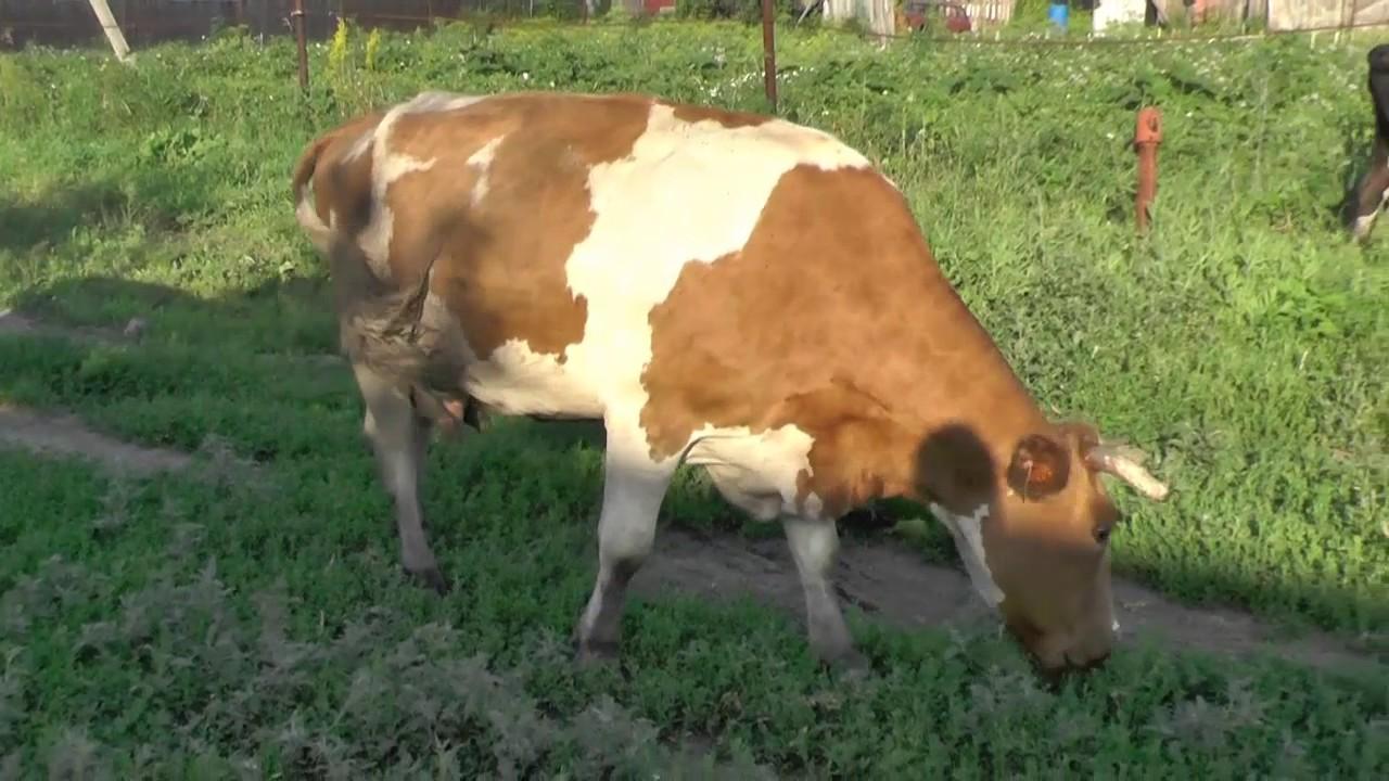 Видео показать раздойка коровы первотелки