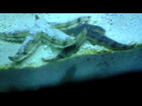 Starfish Mating
