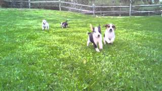Jack Russell Mix Stampede!
