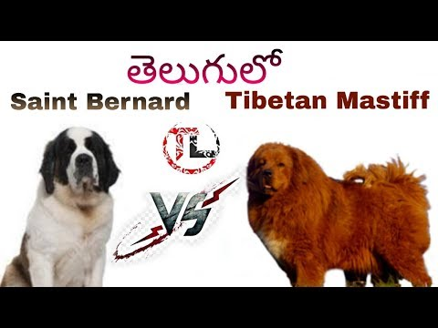 Tibetan mastiff Vs Saint Bernard | Dog comparison in Telugu