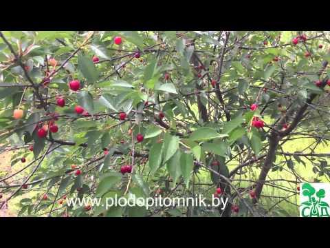 Вишня сорт Новодворская