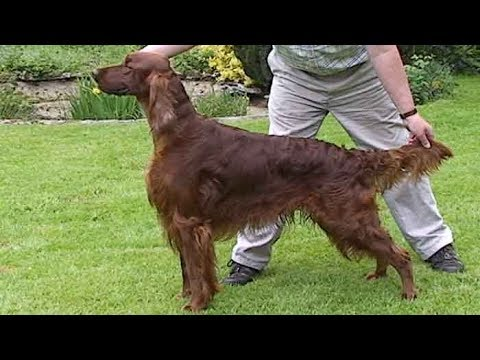 Dog Breed Video: Irish Setter