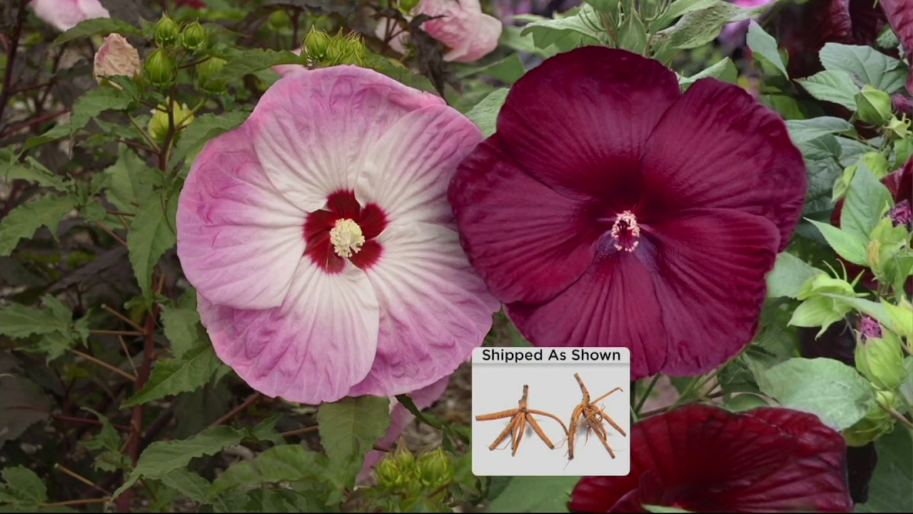 Cottage Farms Iconic Jumbo Hardy Hibiscus Duo On Qvc Youtube
