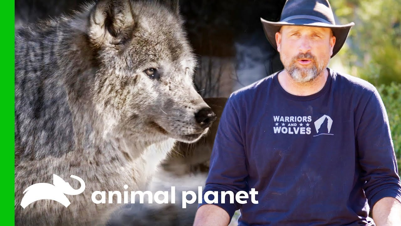 LARC Veterans Uncover Illegal Wolf Poaching Traps | Wolves and Warriors