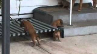 Dogue De Bordeaux X American Bulldog Puppies Exploring