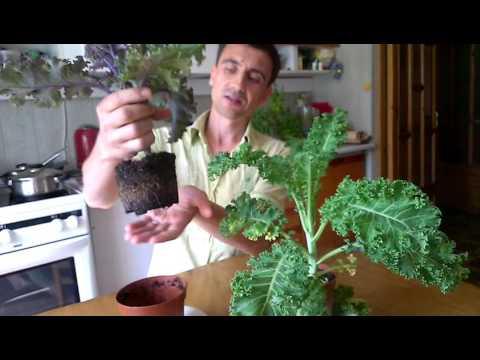 Вопрос: Можно ли вырастить капусту в горшках на балконе?
