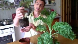 Kale. Капуста кейл живая в горшочке.