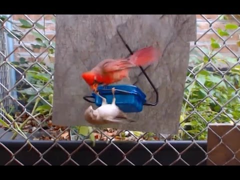 Northern Cardinal Fighting a House Sparrow.