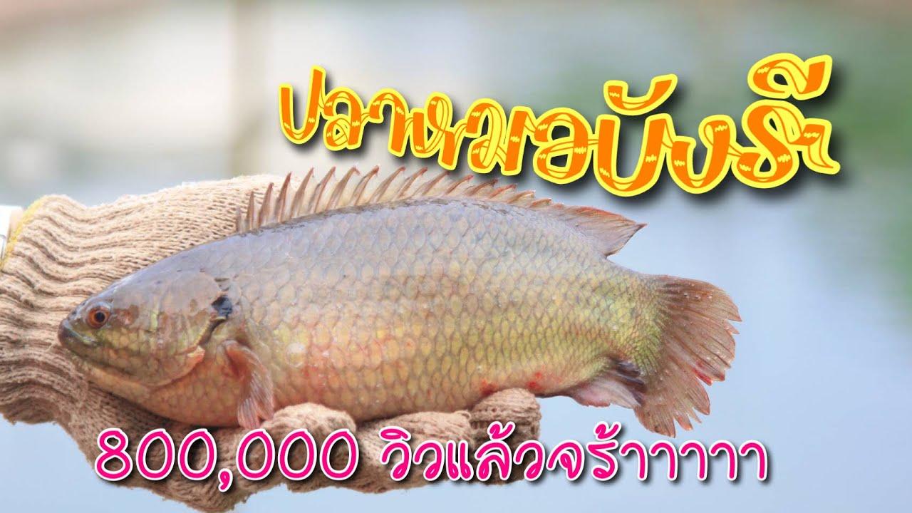 ปลาหมอพันธุ์ยักษ์ เลี้ยงง่าย โตไว กำไร100%