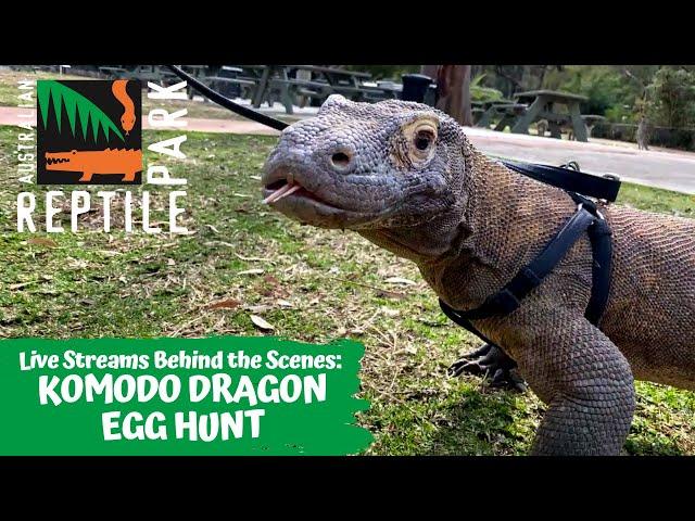 KOMODO DRAGON EGG HUNT (LIVE FOOTAGE) | AUSTRALIAN REPTILE PARK