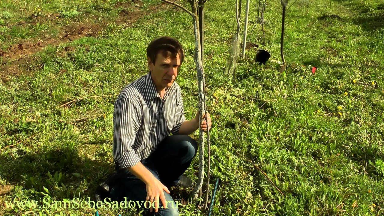 Как спасти яблоню после повреждения грызунами?