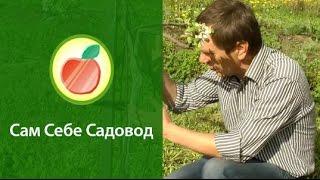 видео Лечение повреждённых яблонь весной на даче