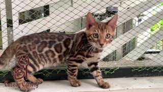 Mèo Bengal đẹp - Lazedo Fred