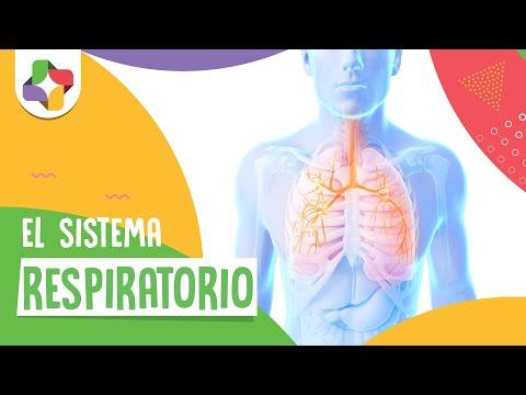 El sistema respiratorio - Biología - Educatina