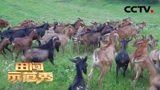 《田间示范秀》 20200429 高招养麻羊 巧法种樱桃|CCTV农业