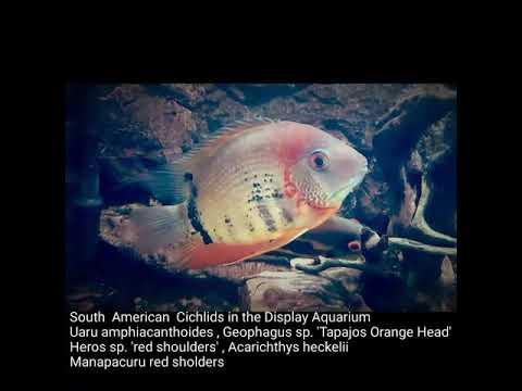 south-american-cichlids-in-the-display-aquarium