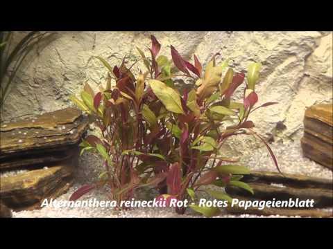 Alternanthera reineckii Rot   Rotes Papageienblatt