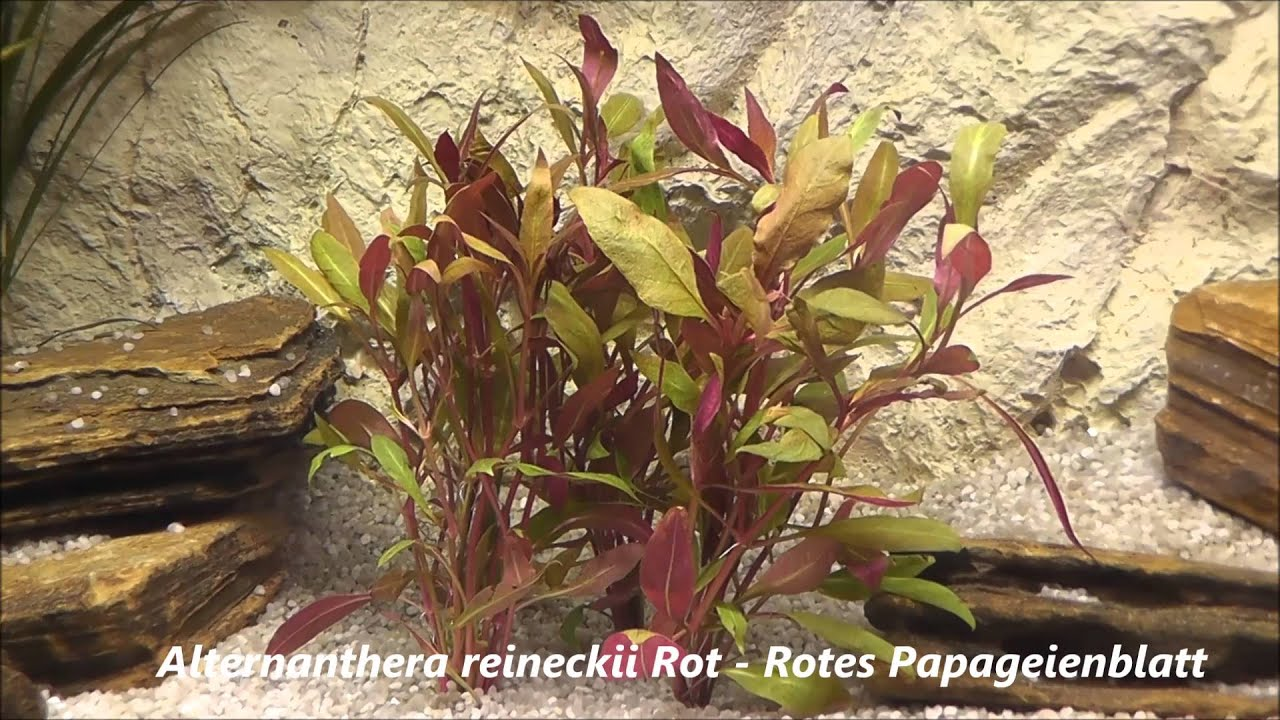 alternanthera reineckii rot rotes papageienblatt youtube. Black Bedroom Furniture Sets. Home Design Ideas