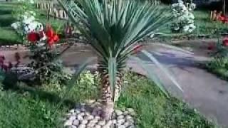 Yucca Gloriosa (Juka Palma) Kraljevo, Serbia