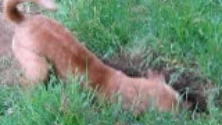 Irish Terrier 2009 Kent Uk