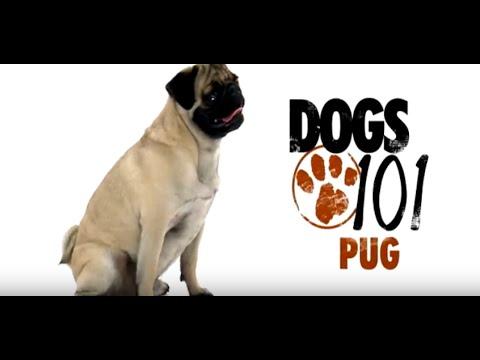 Pug Dogs 101   Pug Problems