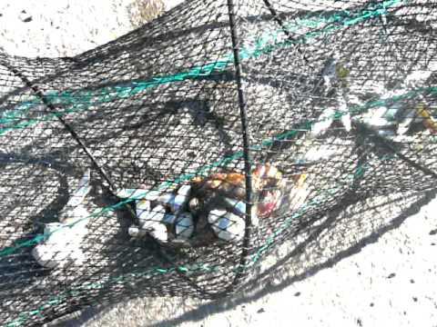 Pesca de mojarras doovi for Como criar mojarras