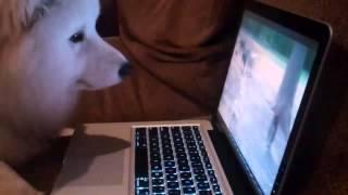 Пес самоед смотрит в ноутбук и переживает