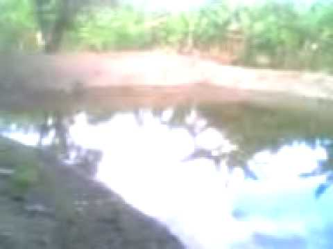 Estanque de tilapia en maizal dominicana youtube for Reproduccion de tilapia en estanque