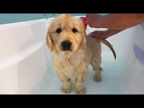 First Bath For Kenzi - Cutest 8 Week Old Golden Retriever