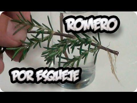 Como reproducir una planta de romero por esqueje la for Planta ornamental que se reproduzca por esquejes