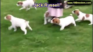 Jack Russell, Puppies, For, Sale, In, Anchorage, Alaska,AK, Fairbanks, Juneau, Eagle River
