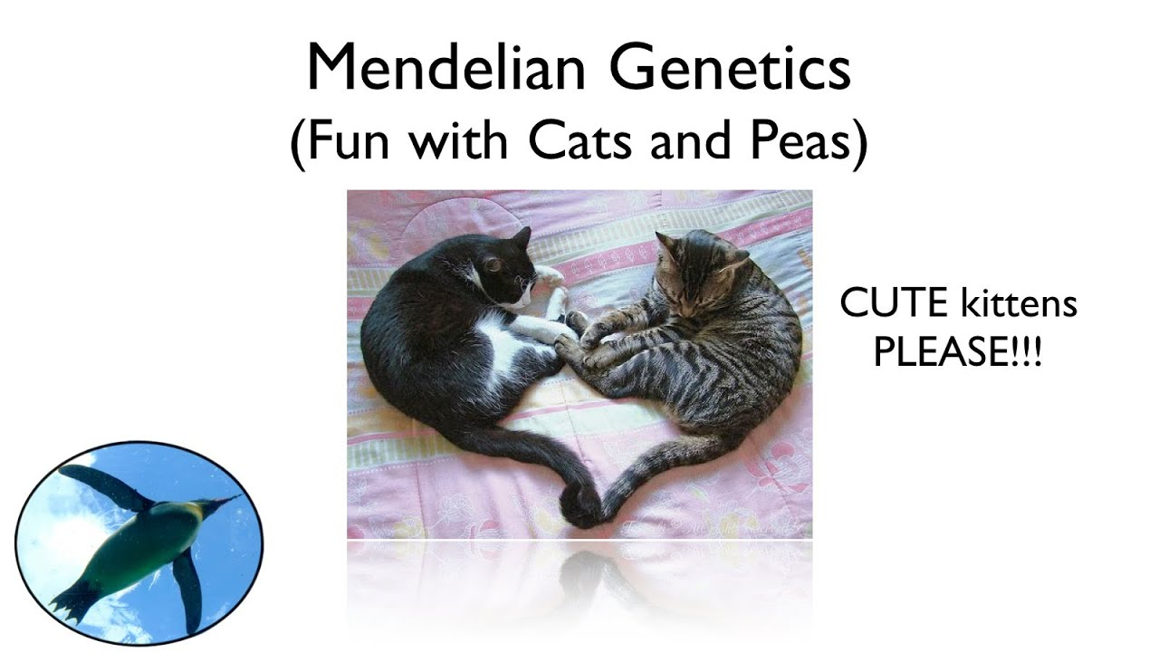 Mendelian Genetics - Fun with Cats and Peas - YouTube