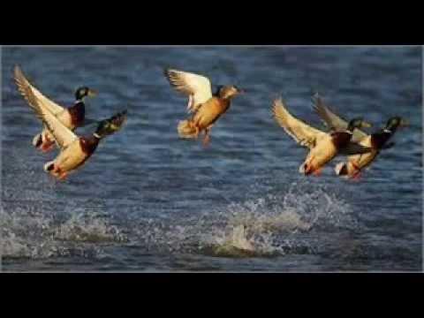 ördek avındaki ördek sesleri muhteşem-av sırasında dikkat edilmesi gerekenler