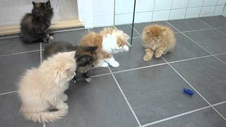Persian kittens playing with 'bug'