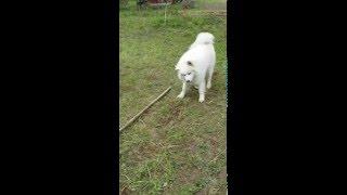 Самоед играет(самоедская лайка). Собака. funny dog