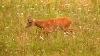 Krótko z lasu 7 - Kozioł na łące