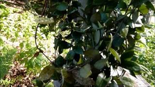 A Visit With Hoya lacunosa 'Royal Flush'