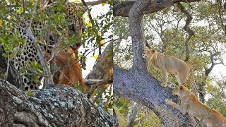 Lions Climb Tree with Leopard Still There