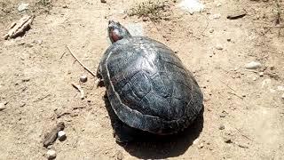 Прогулка с черепахами и агамой🐢🐾