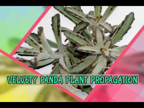 Succulent kalanchoe Tomentosa/Panda Plant Propagation