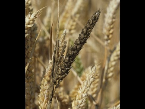 French Wheat Production Down 22%, USA Barley and Oat Yields Down   Mini Ice Age 2015-2035 (195)