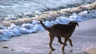 Fidji Border Terrier