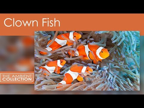 Clown Fish DVD - Tropical Reef Scenes And Nemo And Anemone Fishes