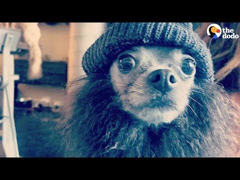 Rescued Pomeranian Dog With Alopecia Looks Like A Rock Star | The Dodo