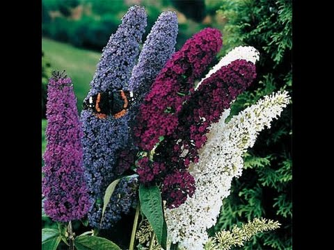 Buddleja davidii - Butterfly Bush - Butterfly Tree